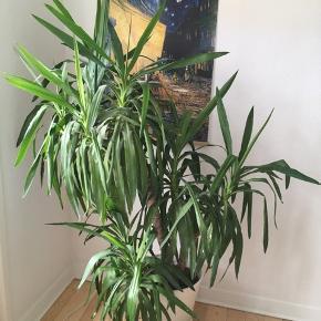 Stor Yucca palme som søger nyt hjem. Den er super nem at holde og kan sagtens vokse ude her i sommermånederne. Jeg har overtaget den fra en anden, hvor den desværre ikke har været roteret i forhold til lys, så den trænger til at blive rettet op eller omplantet. Inkl. hvid plastpotte med hjul. I alt ca. 180 cm høj.
