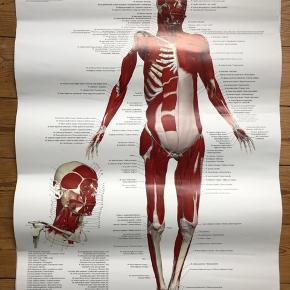 2 Muskelplakater over muskelsystemet.  70x50cm Sælges samlet.  Anatomi. Muskler. Plakat.