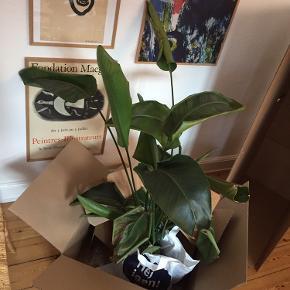 Plante. Synes bladene bliver ved med at blive grimme og den hænger. KRUKKEN ER SOLGT! Planterne sælges alene! Hurtig afhentning.