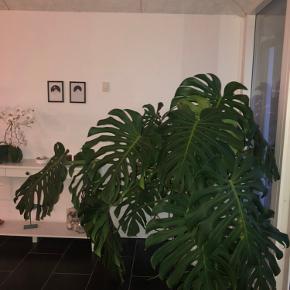 Stor meget flot Monstera plante sælges  Den er ca. 1,5 m høj og ca. lige så bred  Den skyder med nye store flotte blade, og det har den altid gjort  Giv et bud!