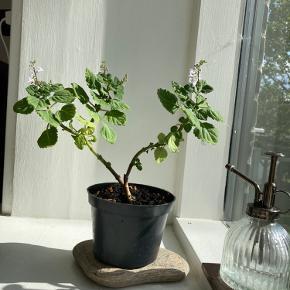 Smuk sydafrikansk plante (plectranthus ernstii) med lilla blomster 🌸 meget nem plante som kan trimmes ligesom et bonsai tre 🌳 plastisk potten følger med.   *Kan ikke sendes med posten, men kan bringes ud i Københavns området!