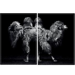 2 helt nye plakater fra ChiCura Copenhagen. Camel Front, 50x70cm og Camel Back, 50x70cm.  Np: 790 Mp: 400