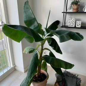 Stor bananpalme.🌴  Den skal stå lyst og have massere af vand.☀️💧   Den vokser helt vildt. De nederste blade hænger på den, fordi de visner når den får nye.   Sælges UDEN potteskjuler.  Kan afhentes i Århus V.