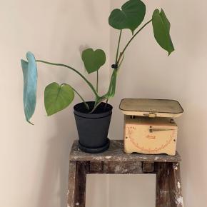 Diverse pilea og monstera planter sælges. Prisen er uden krukke og altså kun for selve planten.  Priserne er som følger:  Billede 1: 85 kroner.  Billede 2: 100 kroner.  Billede 3: 50 kroner.  Billede 4: 75 kroner.  Billede 5: 100 kroner.  Billede 6: 200 kroner (HAY krukke medfølger!)  Planterne afhentes i KBH SV. Kan enten købes hver for sig eller samlet eller flere af gangen.   🔹 Mine priser er så lave og fair, at jeg ikke forhandler om prisen på en enkeltvare. 🔹 Køber du flere annoncer, så finder vi selvfølgelig en god samlet pris.