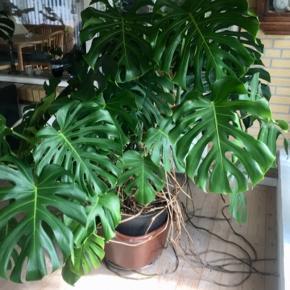Kæmpe stor Monstera Deliciosa-plante. Planten trænger til at blive plantet i en større krukke og få klippet vilde rødder. Perfekt til kontorbygninger, store åbne lokaler ect. Befinder sig i Thorshøj, men kan fragtes til Aalborg og afhentes der, efter aftale.