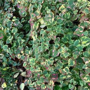 Disse smukke bunddække / stauder kan også  plantes i krukker se billede 3 Sælges til fordel for rent vand i Afrika 💧💧💧 Skriv for en aftale 30205175