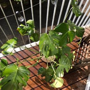 Monstera plante uden potte sælges grundet pladsmangel efter flytning.   Billedet er taget på altanen, men planten har stået inde, og fungerer også som en stueplante.