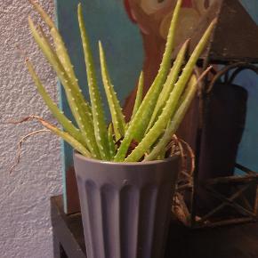 Kaktus og alovera  10,- stk
