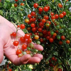 Tomat - Currant sweet pea - 15frø  Dene sort giver virkeligt mange små lækre tomater - de bliver også kaldt for te-ske tomater på grund af dens størrelse. De kan bruges hele i salaten eller som snacks, smagen fejler ikke noget. De bliver ca på størrelse med en ært.  Skal forkultiveres i Potter indenfor i april og ud slut maj og nattefrosten er ovre. Frøene er pakket i kaffefiltre så de kan ånde.  Gratis forsendelse med b-post. Betaling med paypal, konto overførsel eller mobilepay