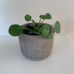 Pilea plante med potte