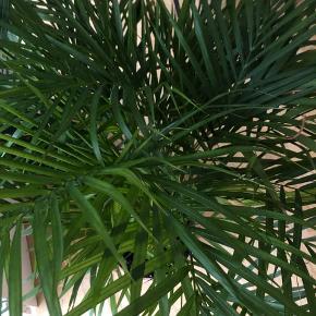 Sælger min flotte store palme grundet flytning. Måler mellem 1-1,25 meter i højden. Nypris 750 kr.  Skal afhentes på Østerbro 💚