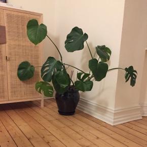Stor og livlig monstera plante + sort glaseret krukke & underskål sælges. Fra gulv til højeste blad er den 106 cm.   Sælger kun fordi vi ikke har pladsen længere.   Den skal hentes i Ågade, i Aalborg. Obs, den er ret tung!