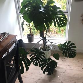 Kæmpe Monstera ( fingerphilodendron) i stor IKEA potte. Ca. 150cm høj Skal afhentes i 7323 Give